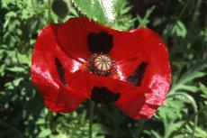 Flanders poppy 02-230x153