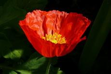 iceland poppy 18-230x153