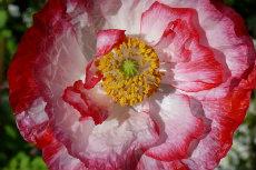 Shirley Poppy 01-230x153