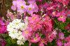 Primula Malacoides 02-100x66