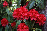 Rhododendron 05-995