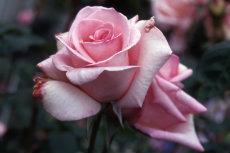 Rose 21-230x153