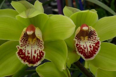cymbidium orchid 17-990