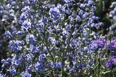 Forget me not (Anchusa azurea) 02-230x153