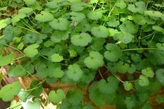 Kenilworth Ivy (Cymbalaria muralis) 01-230x153