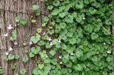 Kenilworth Ivy (Cymbalaria muralis) 03-230x153