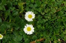 Wild English Daisy 01-230x153