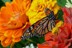 Monarch-Butterfly 03-230x153