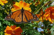 Monarch-Butterfly 05-230x153