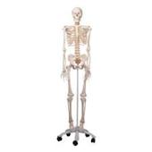 Anatomical Flexible Skeleton Model - Fred