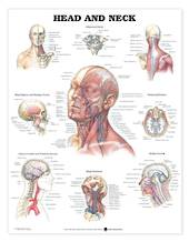 Anatomical Chart - Head and Neck