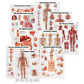 Peter Bachin Anatomical Systems Chart Set