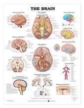 Anatomical Chart - The Brain