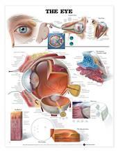 Anatomical Chart - The Eye