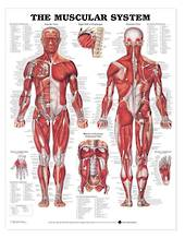 Anatomical Chart - The Muscular System