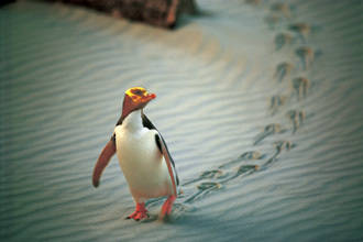 Eco-tour safari (Peninsula encounters) - Dunedin