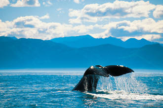 Whale Discovery - Kaikoura - ADULT