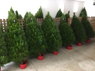 Fresh Xmas Trees - Opening November 29th