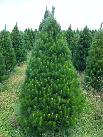 Fresh Xmas Trees - Opening Sunday Nov 29 at 8am - 8pm, then daily 8am - 7pm