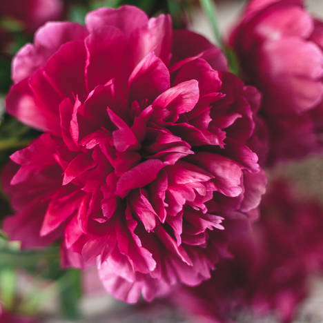 WHOLESALE PEONIES