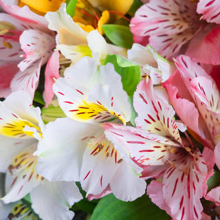 WHOLESALE ALSTROMERIA