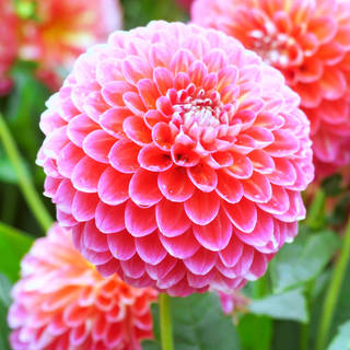 WHOLESALE DAHLIAS