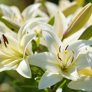 WHOLESALE LILLIES