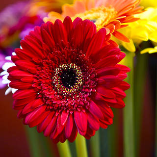 WHOLESALE GERBERAS