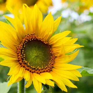 WHOLESALE SUNFLOWERS