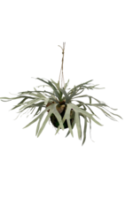 Hanging Staghorn Ball