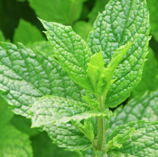 Green mint fragrance oil