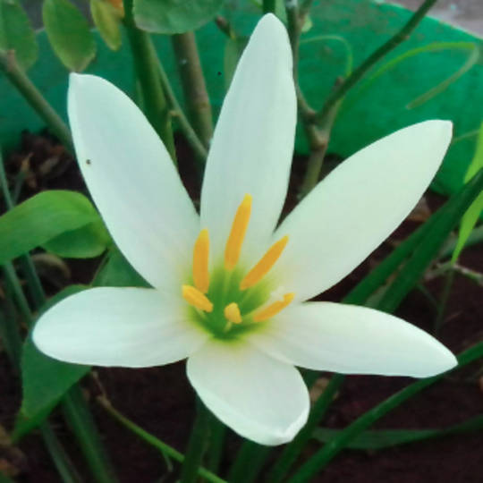 Gingerlily essential oil