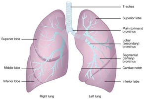 2312 Gross Anatomy of the Lungs
