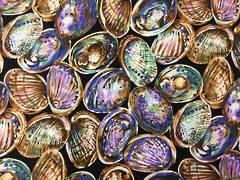 Kiwiana Print - Paua Shell 2