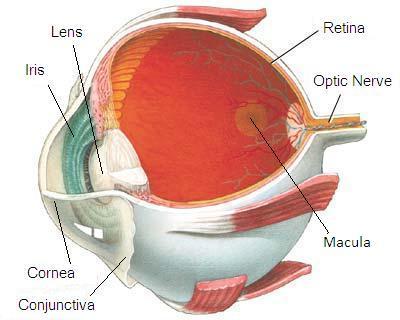 Retina_eyesight_el.jpg