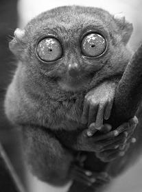 eye_strain_tarsier.jpg