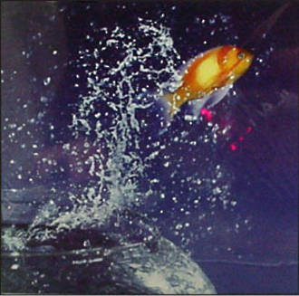 Blank Card Photographic W11 Small Goldfish Jumping
