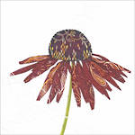 Almanac Gallery Wildlife Red Daisy