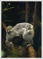 Simply Sweet Animals Koala