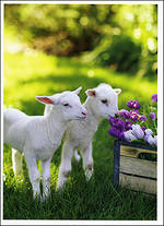 Simply Sweet Animals Lambs