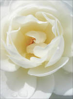 Bloom White Rose