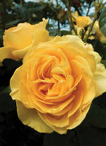 Bloom Yellow Rose