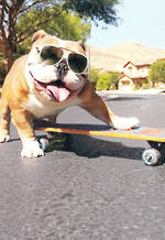 Avanti Dog On Skateboard