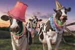Avanti Cows Dressed Up