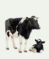 photo cows