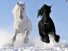 black and white shires