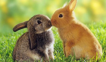 rabbits kissing