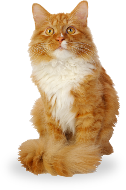 domestic long-haired cat