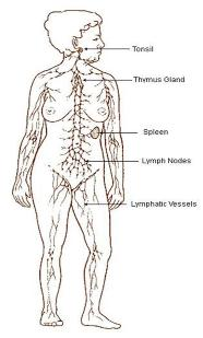 Lymphatics diagram .jpg