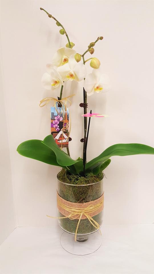 Phalaenopsis 'Moth' Orchid